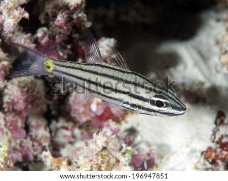 Fiveline cardinalfish in red sea, Egypt, Hurghada - stock photo