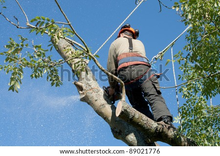 Fixing ropes up a tree, a man has a chainsaw hanging from his belt
