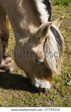 Fjord Horse browse in the pasture