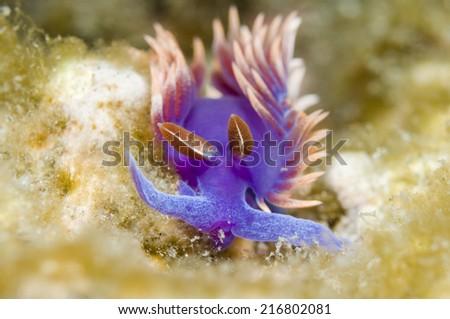 Flabellina iodinea (Spanish shawl) - stock photo