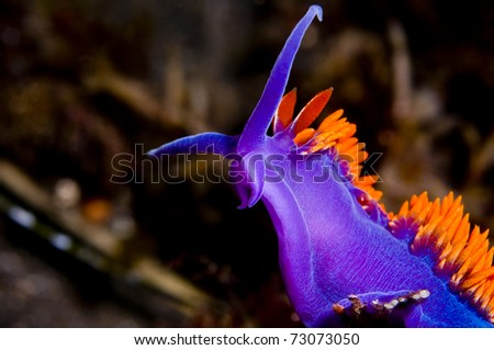 Flabellina iodinea (Spanish shawl) up-close showing details. - stock photo
