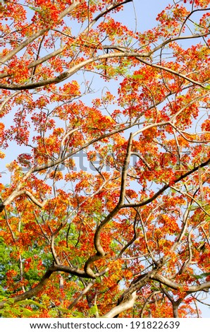 Flam-boyant, The Flame Tree, Royal Poinciana  - stock photo