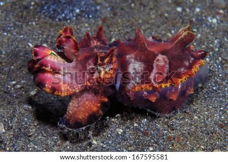 Flamboyant cuttlefish (Metasepia pfefferi) in the tropical waters indonesia - stock photo