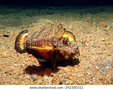 Flamboyant poisonous Red Sea walkman walking over sand  - stock photo