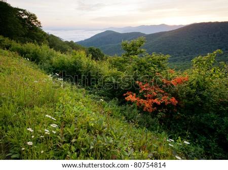 Flame Azaleas - Blue Ridge Parkway, North Carolina - stock photo
