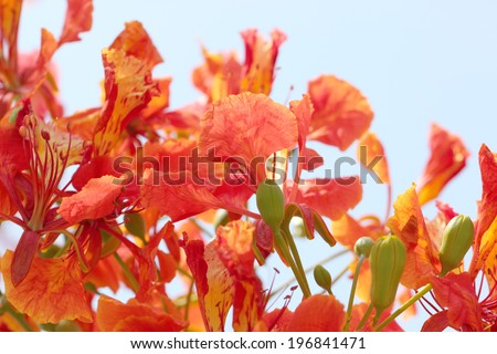 Flame Tree Flower on blue sky background. - stock photo