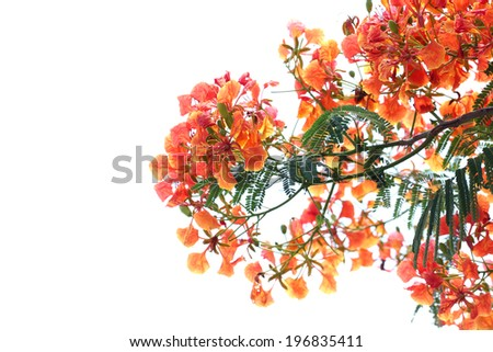 Flame Tree Flower on white background. - stock photo