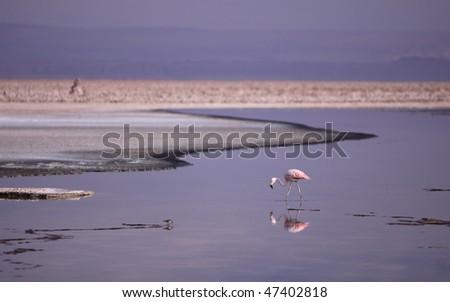 Flamingo at Altiplano Lagoon - stock photo