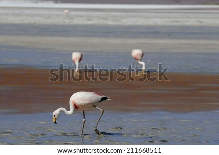 Flamingo at volcanic salt lake in Altiplano high plateau in Andes Mountains, Chile - stock photo