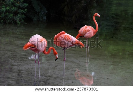 Flamingo bird on the lake in Florida Summer time - stock photo