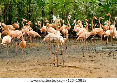 flamingo birds in zoo - stock photo