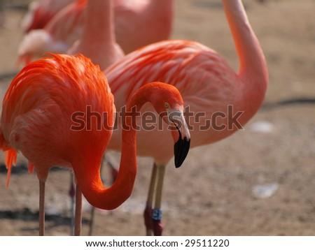 Flamingo clan - stock photo