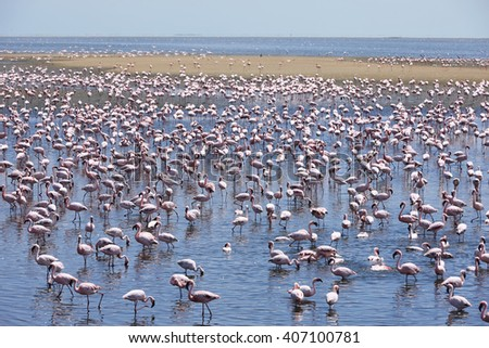 Flamingo colony in Swakopmund, Namibia, Africa.