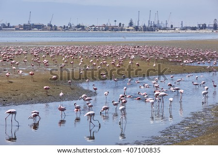 Flamingo colony in Swakopmund, Namibia, Africa. - stock photo