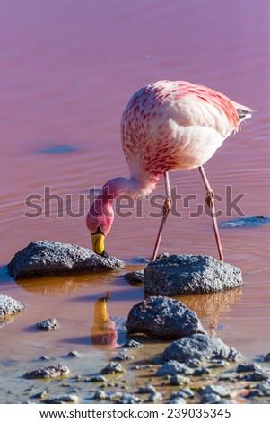 Flamingo eats krill in the red lagoon, Bolivia - stock photo