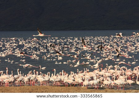 Flamingo: Greater and Lesser Flamingoes in East African Rift Valley - stock photo