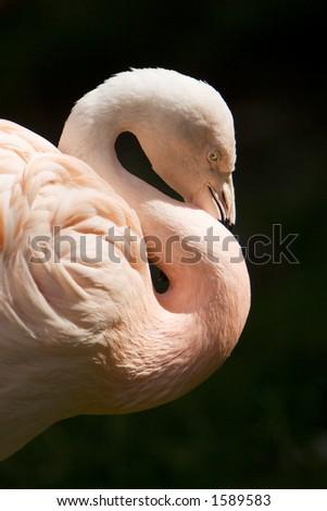 flamingo hug - stock photo