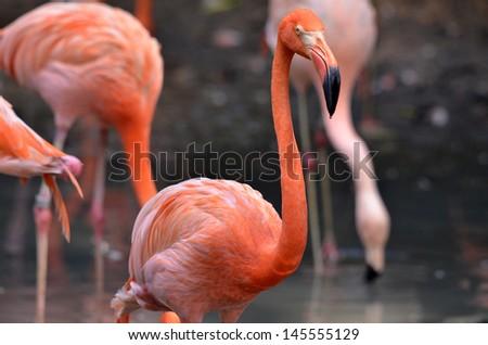 Flamingo in the swan - stock photo