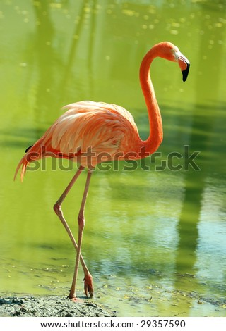 flamingo in the water - stock photo