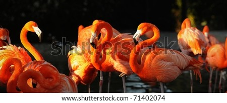 Flamingo on a decline. A portrait of group of pink flamingos against a dark background in decline beams. - stock photo