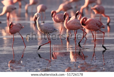 flamingo on lake nakuru, kenya - stock photo