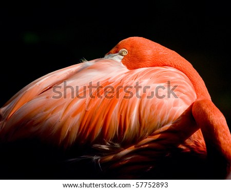 Flamingo Peering from feathers with black background - stock photo