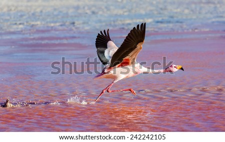 Flamingo runs for flight - stock photo