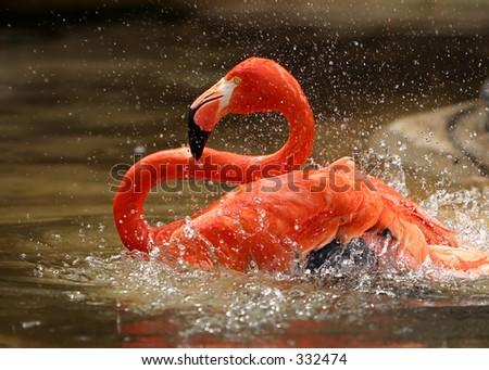Flamingo Taking a Bath - stock photo