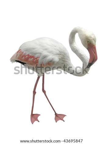 flamingo under the white background