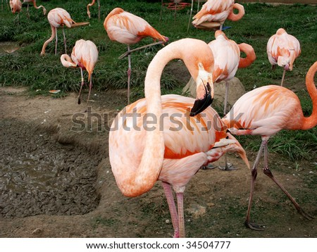 Flamingo with a twisted neck - stock photo