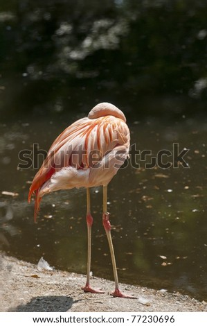 Flamingo with his nozzle in its feathers