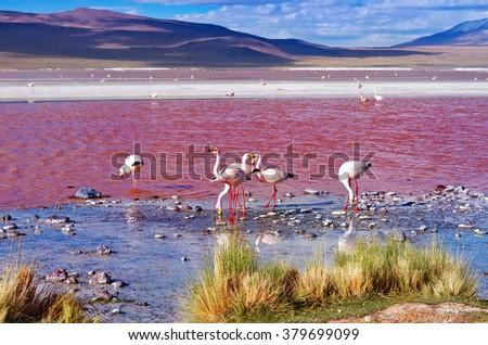 Flamingoes in Laguna Colorada , Uyuni, Bolivia - stock photo