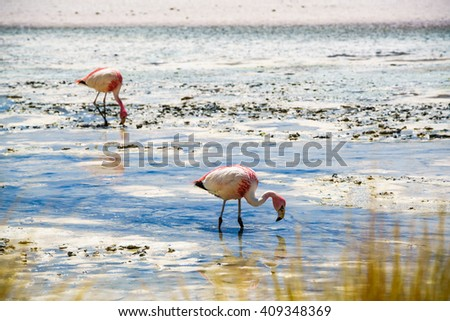 Flamingos eating in the laguna at The Reserva Nacional De Fauna Andina Edina Eduardo Avaroa, Potasi, Bolivia - stock photo