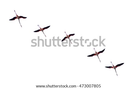 Flamingos flock isolated in white background