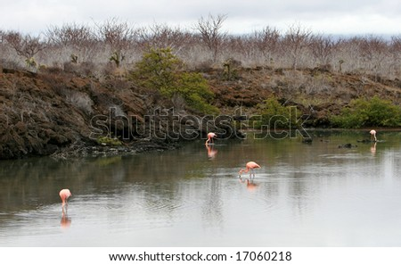 Flamingos in a lake in the Galapagos Islands - stock photo