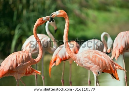 Flamingos in its natural environment - Phoenicopterus ruber - stock photo