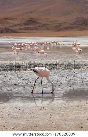 Flamingos in Lagoon Hedionda, Bolivia - stock photo