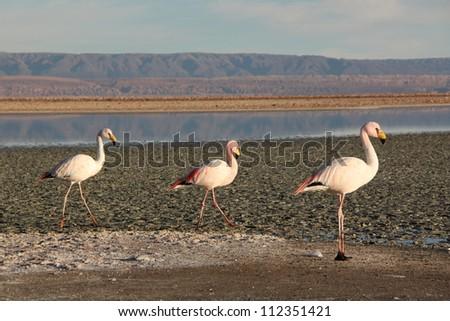 Flamingos in Laguna de Chaxa, Atacama desert, Chile. - stock photo