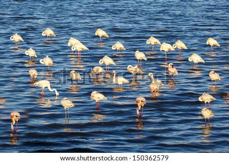 Flamingos in the lake     African safari - stock photo