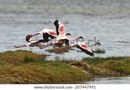 Flamingos in the National Park Lake Nakuru Africa - stock photo