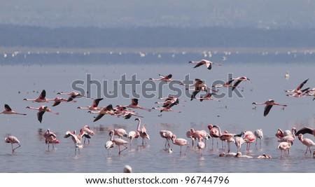 Flamingos on Kenya's Lake Nakuru - stock photo