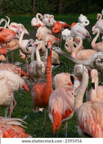 Flamingos on the grass - stock photo