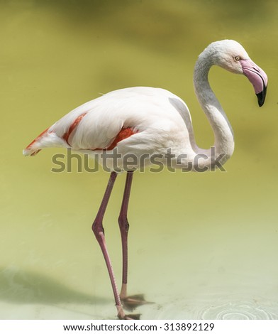 Flamingos or flamingoes are a type of wading bird in the genus Phoenicopterus, the only genus in the family Phoenicopteridae. - stock photo