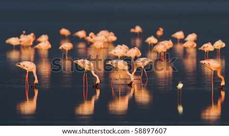 Flamingos or flamingoes are gregarious wading birds in the genus Phoenicopterus, the only genus in the family Phoenicopteridae. / Flamingo on Sunset. - stock photo