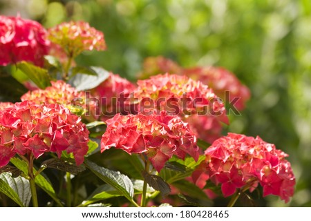 Flamy colors on Hortensia or Hydrangea flowers in summer with bokeh background - stock photo
