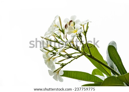 Flangipani flowers with green leave