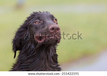 Flat Coated Retriever blown like the wind
