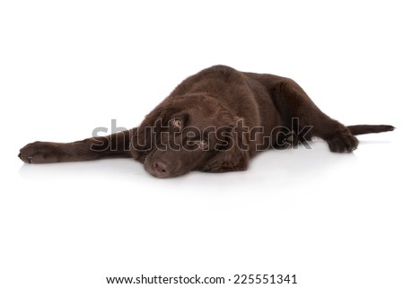 flat coated retriever dog lying down - stock photo