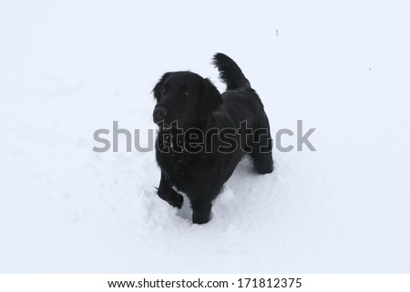 Flat coated retriever in the snow - stock photo