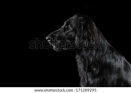 Flat Coated Retriever on a black background - stock photo